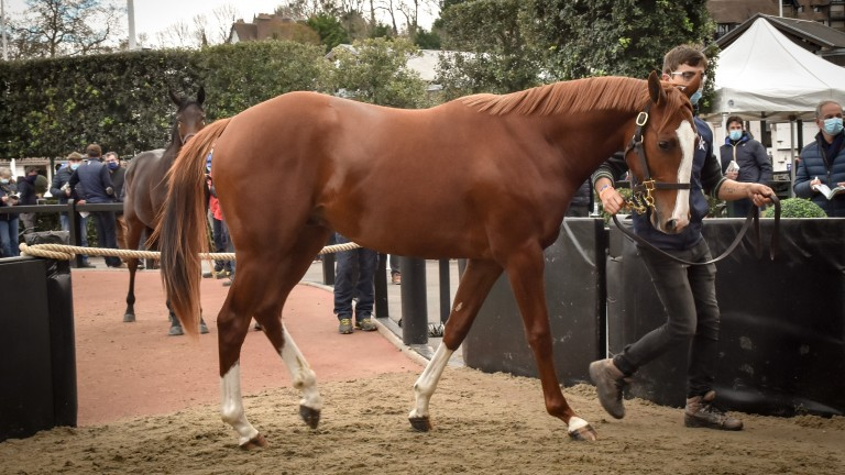 The top lot during Wednesday's National Hunt yearlings session at Arqana was a son of Doctor Dino, bound for Paul Nicholls and owner Andy Stewart