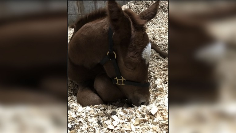 Jennifer Malone's Crystal Ocean filly takes a well earned nap