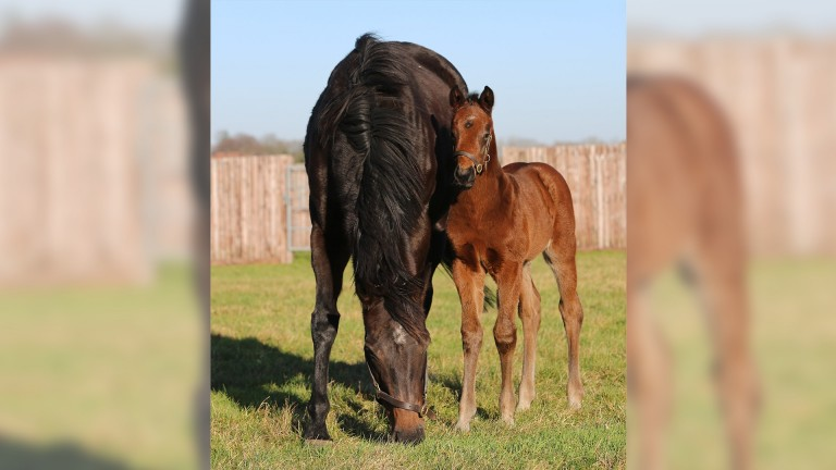 Juddmonte's first foal of the season, a Kingman colt out of Big Break