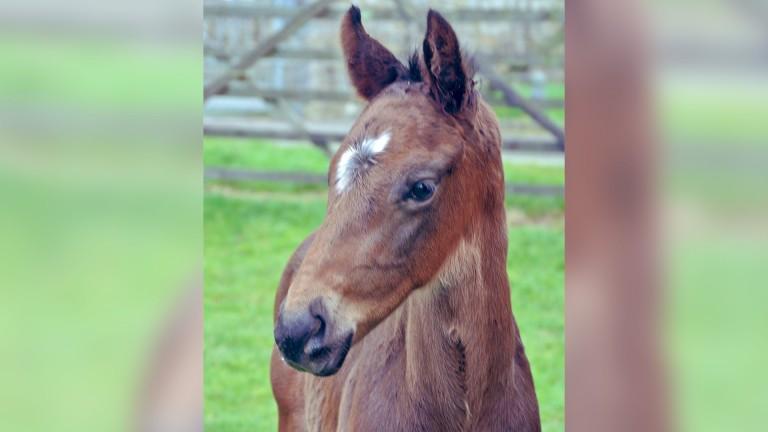 Knockhouse Stud's Tirwanako colt out of Cool Bramble