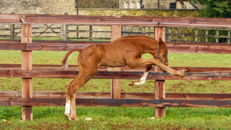 Byerley Stud's Zoustar colt produces an athletic leap out in the field