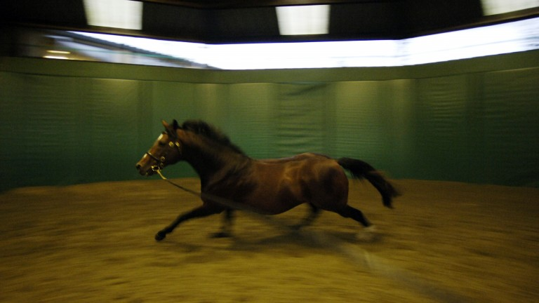 Galileo exercises in the Coolmore lunge ring in 2007