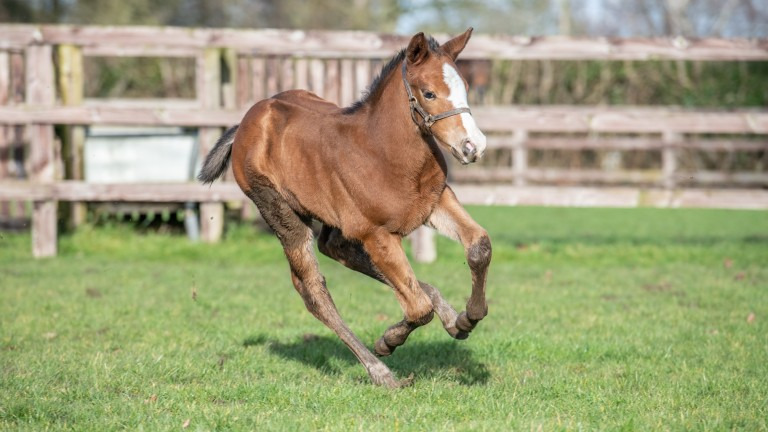 Brook Stud's Eqtidaar colt out of Respectable goes full pelt around the paddock