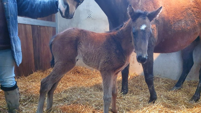 This lovely Adaay filly is a very new arrival at Natton House Thoroughbreds for Farraday Equine Ltd. She is out of the Acclamation mare Salvo