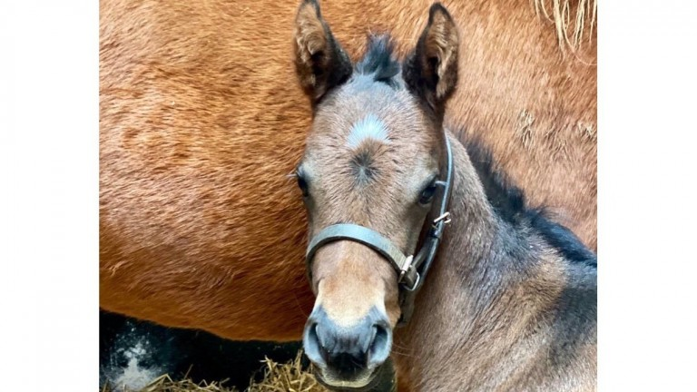 Summit Bloodstock's Footstepsinthesand filly out of Under Offer