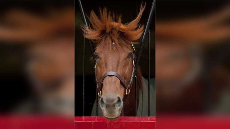 Happy as larry in his box at Cheveley Park Stud