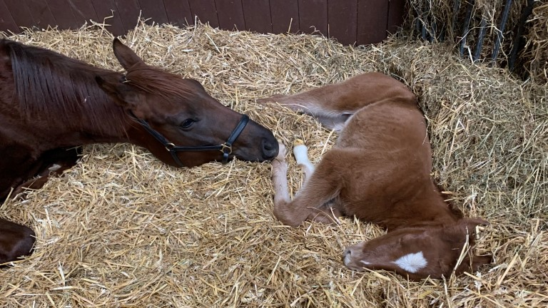 Kinsale Stud's Havana Gold filly out of  Lovable Choice, a sister to the Listed-winning and Group-placed Iconic Choice