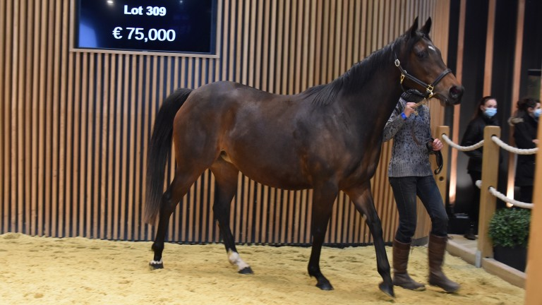 Frankel mare Princess Isla topped day two of the Arqana February sale when making €110,000