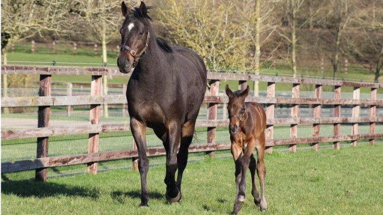 Illaunmore and her Siyouni colt stretch their legs at Chasemore Farm