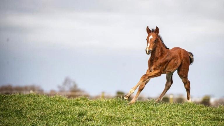 Clongiffen Stud's Austrian School colt stretches his legs