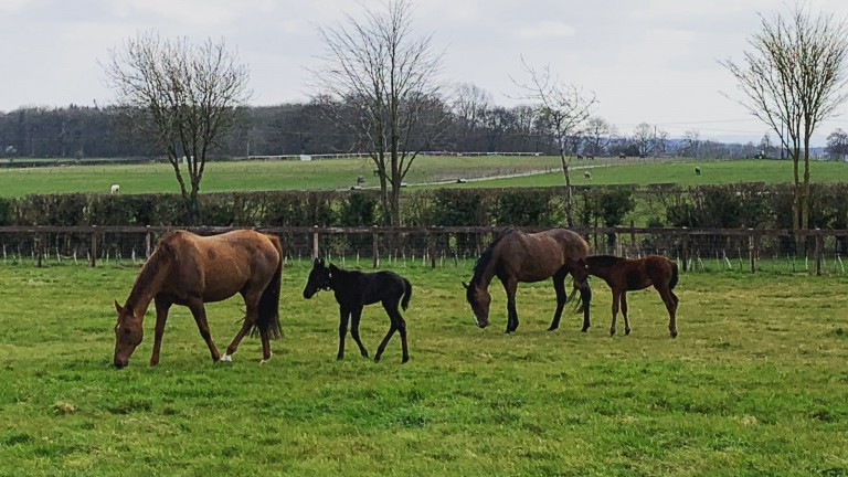 Foals by Maxios (left) and Pillar Coral (right) enjoy time out in the field at Alne Park Stud