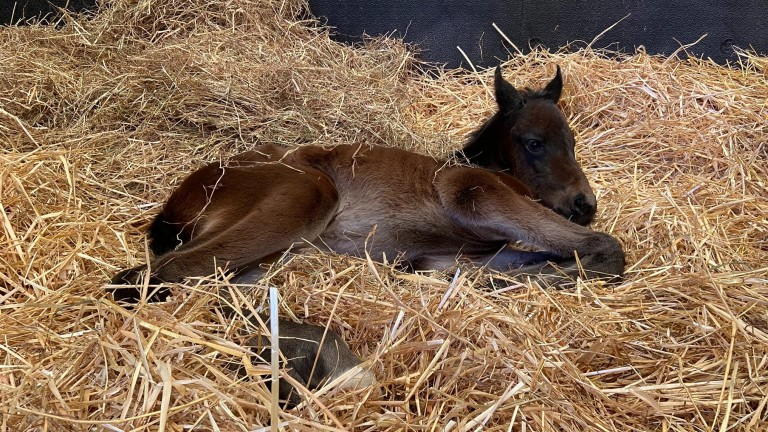 Boherguy Stud's No Nay Never colt takes a snooze