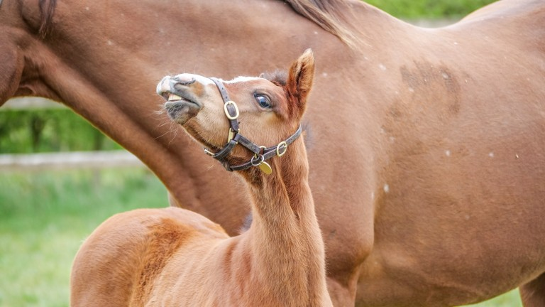 Cliveden Stud's Cable Bay filly shows her cheeky side to the camera