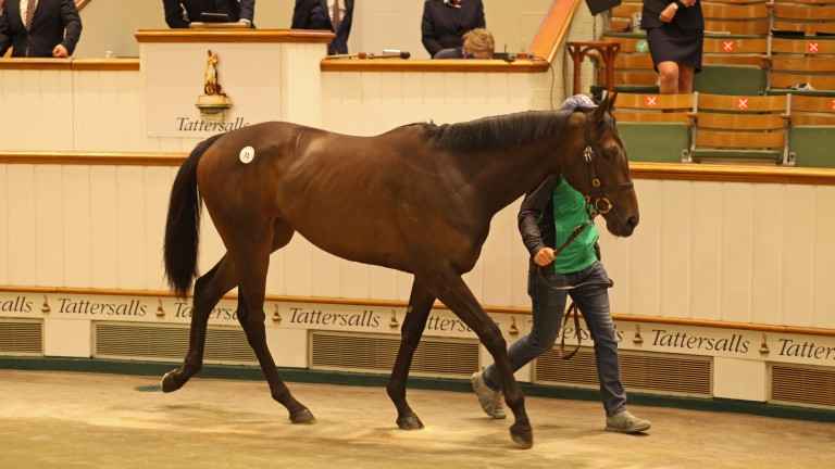 Lot 71: the Tally-Ho Stud-consigned Practical Joke filly sells to White Birch Farm for 360,000gns on the first day of the Tattersalls Craven Breeze-Up Sale