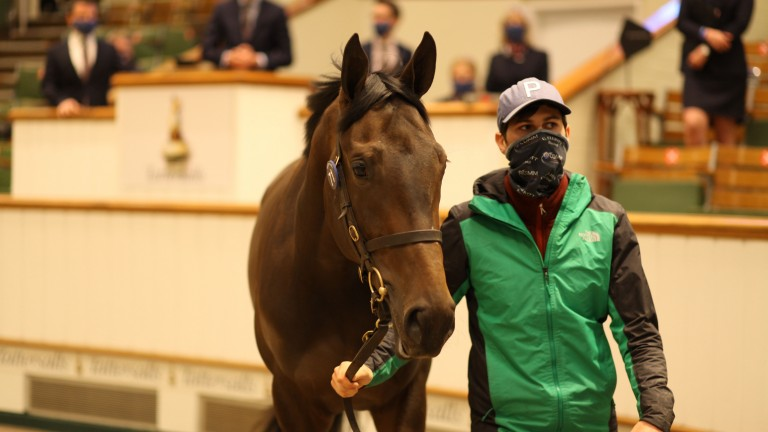Lot 71: the Practical Joke filly out of Purr And Prowl who sold to Alex Elliott on behalf of White Birch Farm for 360,000gns