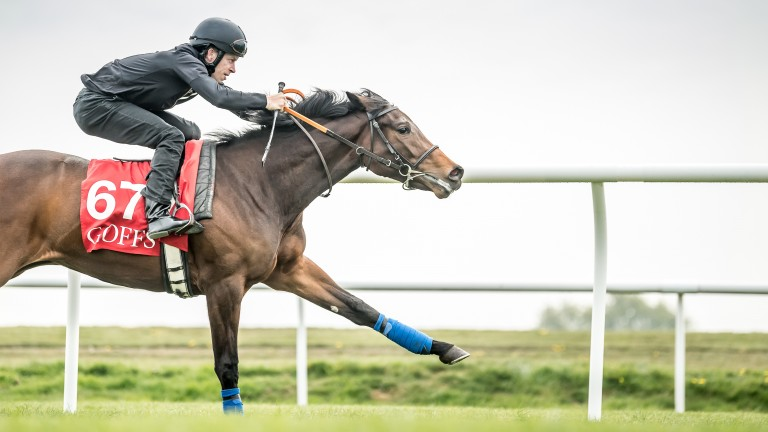 Micky Cleere puts a two-year-old filly through her paces at the Goffs UK Breeze-Up Sale in Doncaster