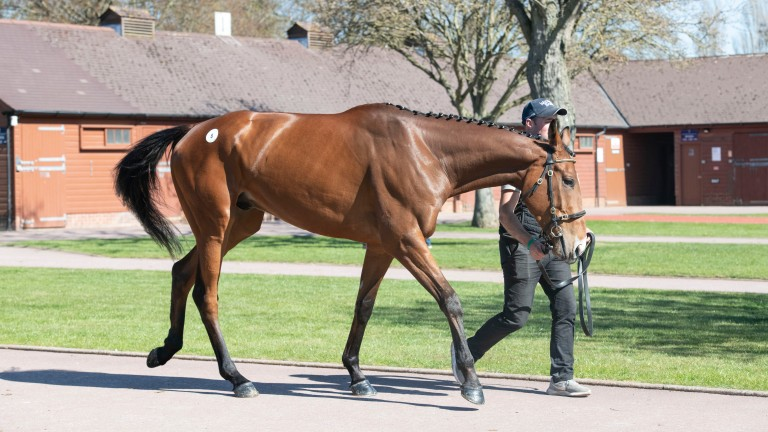 American Mike: topped the Tattersalls Cheltenham April Sale