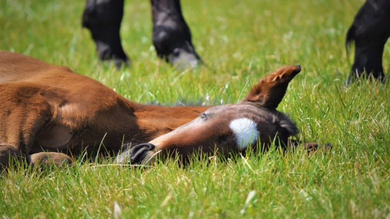 A foal at Alne Park Stud enjoying the spring sunshine