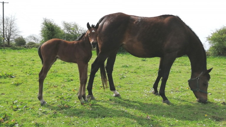 Michael Glynn's Dragon Pulse filly out of Lus na Gréine at Hollow Lodge Stud