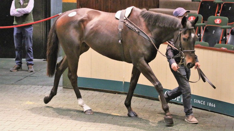 Lot 5: Altior's relation Top Dog sells to Gerry Hogan Bloodstock for €130,000