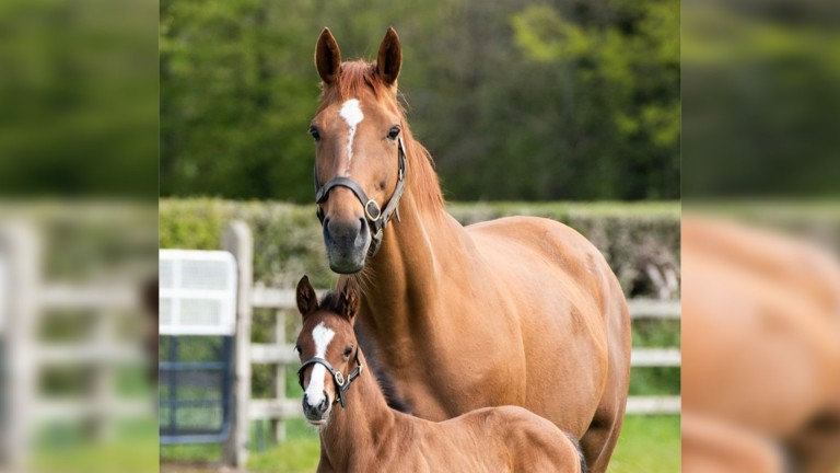 Annie Power with her Camelot colt foal