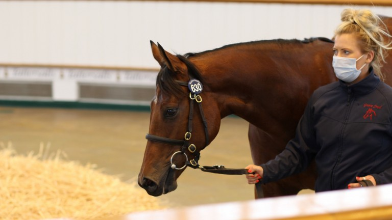 Nymphadora going through the ring at Book 2, where Blandford Bloodstock signed the ticket at 185,000gns