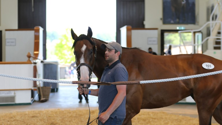 The record-breaking £410,000 Dark Angel colt in the Park Paddocks ring