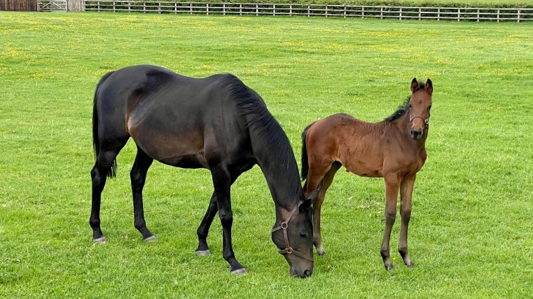 Petticoat Tails and her Getaway filly enjoying the Cheshire sunshine