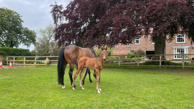 A Wusool colt out of Miss Giselle at Lilling Hall Stud