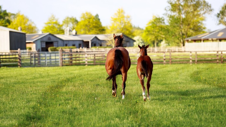 A mare and foal enjoying turn out at Haras de Bouquetot