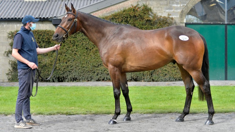 Rathbarry Stud's Blue Bresil gelding, who topped the Tattersalls Ireland May Store Sale at €115,000