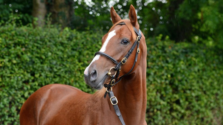 Lot 113: Half-brother Galileo Gold from Boherguy Stud to Star Of Emaraaty