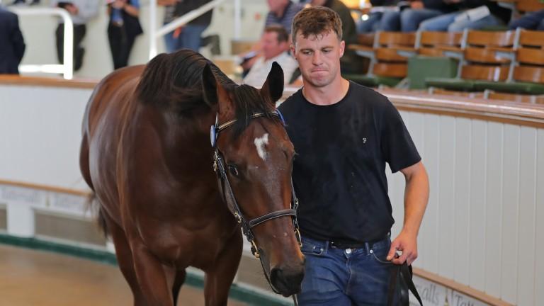 Lot 70: Ard Erin Stud's Make Believe colt in the Park Paddocks sales ring